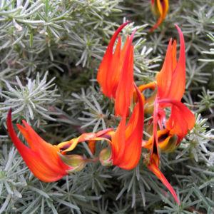 Feuerroter Hornklee Bluete rot Lotus pyranthus 03