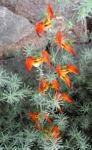Bild:  Feuerroter Hornklee Blüte rot Lotus pyranthus