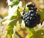 Fingeraralie Henrys Frucht schwarz Blatt gelb Eleutherococcus henryi 03