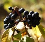 Fingeraralie Henrys Frucht schwarz Blatt gelb Eleutherococcus henryi 08