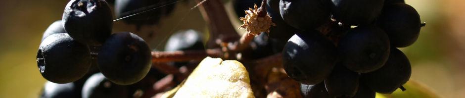 fingeraralie-henrys-frucht-schwarz-blatt-gelb-eleutherococcus-henryi