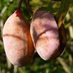 Fingerblaettrige Akebie Frucht Blatt Akebia quinata 01