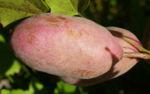 Fingerblaettrige Akebie Frucht Blatt Akebia quinata 09