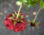 Bild:  Fingerkraut Hybride Blüte knallrot Potentilla x hybrida