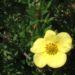 Zurück zum kompletten Bilderset Fingerstrauch Blüte gelb Potentilla fruticosa