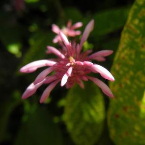 Firespike Bluete rosa Odontonema callistachym 07