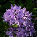 Flieder Bluete lila Syringa protolaciniata 02