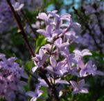 Flieder Bluete lila Syringa protolaciniata 06
