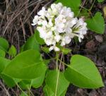 Flieder Blueten Syringa vulgaris 07