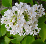 Flieder Blueten Syringa vulgaris 10