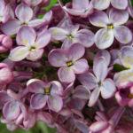 Flieder Blueten Syringa vulgaris 12