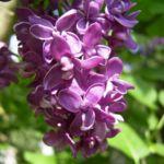 Flieder bordeaux Bluete Syringa vulgaris 02