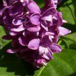 Flieder bordeaux Bluete Syringa vulgaris 04