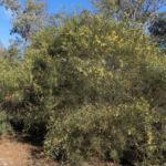 Flinders Range Akazie Winterakazie Bluete gelb Acacia iteaphylla 08