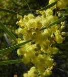 Bild:  Flinders Range Akazie Winterakazie Blüte gelb Acacia iteaphylla