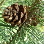 Foehre Pinus 02