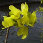 Forsythie Bluete Forsythia x intermedia 02