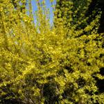 Forsythie Busch Bluete gelb Forsythia intermedia 02