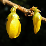 Forsythie Strauch Bluete gelb Forsythia intermedia 15