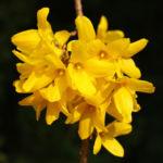 Forsythie Strauch Bluete gelb Forsythia x intermedia 02