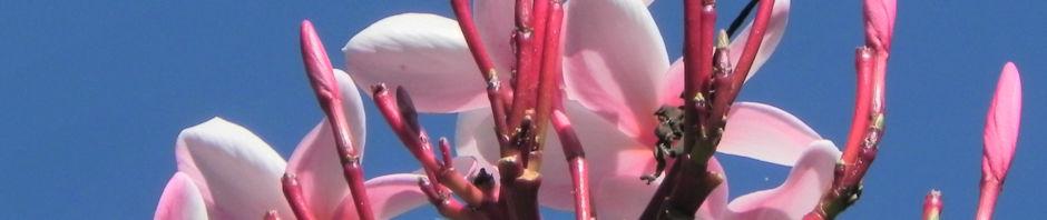 frangipani-bluete-rot-plumeria-rubra