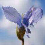 Fransen Enzian Bluete hellblau Gentianella ciliata 01