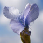 Fransen Enzian Bluete hellblau Gentianella ciliata 02