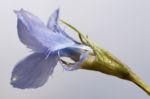 Fransen Enzian Bluete hellblau Gentianella ciliata 06