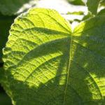 Frucht Salbei Blatt gruen Salvia dorisiana 04