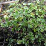 Bild:  Frühblühender Thymian Blüte pink Thymus praecox
