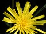 Fruehbluehendes Habichtskraut Bluete gelb Hieracium glaucinum 01