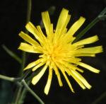 Fruehbluehendes Habichtskraut Bluete gelb Hieracium glaucinum 03
