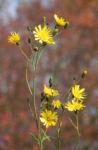 Fruehbluehendes Habichtskraut Bluete gelb Hieracium glaucinum 11