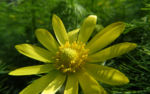 Fruehlings Adonisroeschen Bluete gelb Adonis vernalis 05