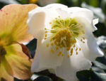Fruehlings Christrose Bluete weiss Helleborus orientalis 04