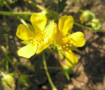 Fruehlings Fingerkraut Bluete gelb Potentilla tabernaemontani 05