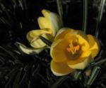 Fruehlings Krokus Bluete gelb Crocus vernus 10