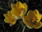 Fruehlings Krokus Bluete gelb Crocus vernus 16