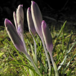 Fruehlings Krokus Bluete lila Crocus vernus 16