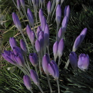 Fruehlings Krokus Bluete lila Crocus vernus 26