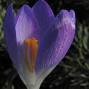 Fruehlings Krokus Bluete lila Crocus vernus 36