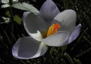 Fruehlings Krokus Bluete lila Crocus vernus 50