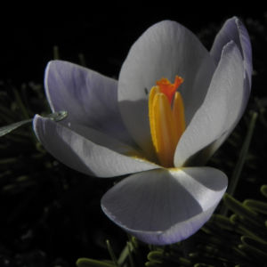 Fruehlings Krokus Bluete lila Crocus vernus 52