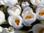 Frühlings-Krokus Blüte weiß Crocus vernus 07