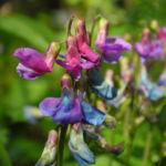 Bild:  Frühlings-Platterbse Bluete blau lila Lathyrus vernus