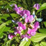 Bild:  Frühlings-Platterbse Blüte pink lila Lathyrus vernus