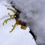 Fruehlings Zaubernuss Schnee Hamamelis vernalis 04