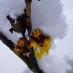 Fruehlings Zaubernuss Schnee Hamamelis vernalis 05