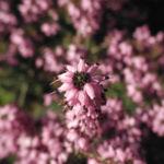 Fruehlingsheidekraut Bluete rosa Erica herbacea 10