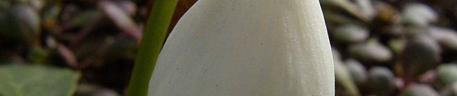fruehlings-knotenblume-maerzenbecher-bluete-weiss-leucojum-vernum